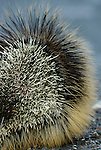 Porcupine, Washington, USA