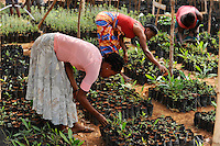 SIERRA LEONE Grafton, women in tree nursery of NGO CHELSol, protection of forest in Western Area Peninsula WAPFoR / SIERRA LEONE Grafton , Projekt der Welthungerhilfe - Bewahrung des Waldschutzgebietes der Western Area Peninsula und ihres Wassereinzugsgebietes WAPFoR , lokale NGO CHELSoL Ip Aufforstung und Baumschule