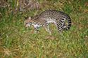 Adult Ocelot (Leopardus pardalis) foraging after dark. Caiman Ecological Refuge, Southern Pantanal, Moto Grosso do Sul State, Brazil. September.