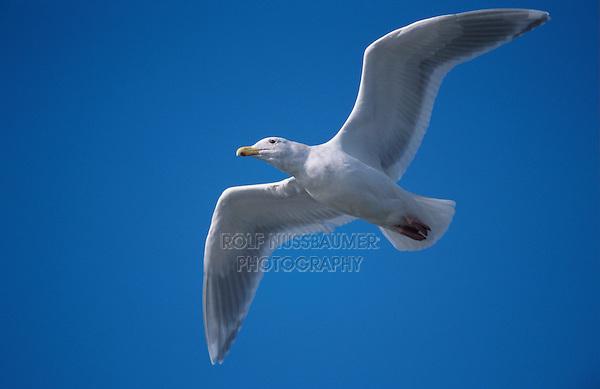 Glaucous-winged Gull, Larus glaucescens, adult in flight, Homer, Alaska, USA, March 2000