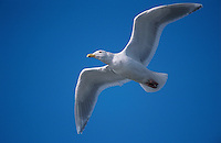 Glaucous-winged Gull, Larus glaucescens, adult in flight, Homer, Alaska, USA, March 2000
