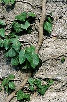 Gewöhnlicher Efeu, klettert mit Haftscheiben an Fassade empor, Hedera helix, Common Ivy
