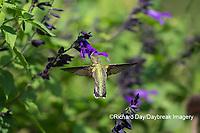 01162-15109 Ruby-throated Hummingbird (Archilochus colubris) at Amistad Salvia (Salvia amistad) in Marion County, IL