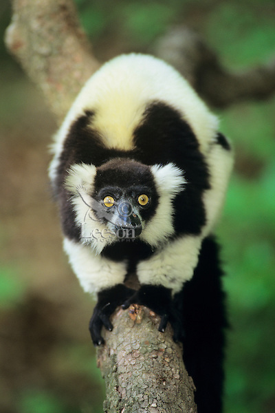 Black and White Ruffed Lemur (Varecia variegata), endangered species.