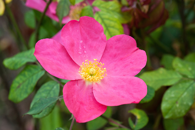 Rosa Rose of Picardy 'Ausfudge'