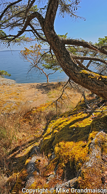 Pine tree, Saltspring Island (Gulf Islands), British Columbia, Canada