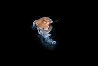 Crab larva, Megalopa, feeding on a jellyfish. Black water dive off Palm Beach, Florida, U.S.A   Atlantic Ocean.