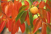 Fruit tree in California garden, Persimmon in fall color - 'Fuyu'
