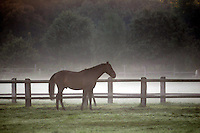 Earley morning at the paddock, a stellion Horse while a morrow walk in dew near Leipzig south. (Photo.: Stefan Noebel-Heise)....Pferd,Horse, Morgen, Tau, morningdew, dew, Sunrise, Hengst, stellion, Paddock,Koppel, Morgendunst, mist, Nebel,Zaun, Fence, wald,Land,Wiese, Willow, Gras, Wildlive,Urban Animals, Hafer, Reiten, horseback riding,