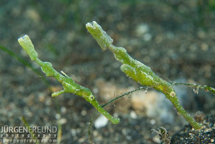 Robust ghost pipefish,.Solenostomus cyanopterus.Very long snout, variable colour (green to brown), it mimics a seagrass leaf in the finest details (encrusting organisms). Elongate tail, short caudal peduncle especially in the larger females. Maximum lenght 15 cm.