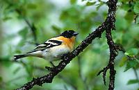Bergfink, Männchen im Prachtkleid, Berg-Fink, Fringilla montifringilla, brambling