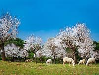 Spanien, Mallorca, Schafherde unter bluehenden Mandelbaeumen | Spain, Mallorca, sheep grazing underneath blossoming almond trees