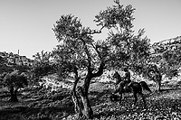 Horse trainer Ahmad Dabas, 32 rides a pure breed Arabian horse, named Apollo, from the Al-Obeid Stud on June 07, 2016 near the village of Abu Kash, in the West Bank, Israeli-occupied territories. <br /> Photo Daniel Berehulak for the New York Times