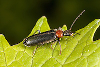 Fire-Colored Beetle (Pedilus lugubris), West Harrison, Westchester County, New York