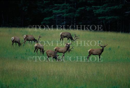 Elk, or Wapiti (Cervus canadensis) in Benzie county, Michigan.
