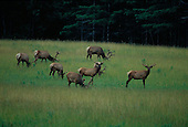 Elk, or Wapiti (Cervus canadensis) in Benzie county, Michigan.