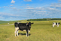 Dairy cows in pasture<br /> Holland<br /> Manitoba<br /> Canada