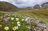 Mountain Aven wildflowers, Denali National Park, Interior, Alaska
