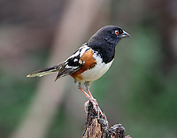 Adult male spotted towhee