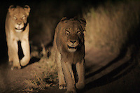 A pride of male African lions as seen on the Sabi Sabi private game reserve in South Africa. Photo by Matt May
