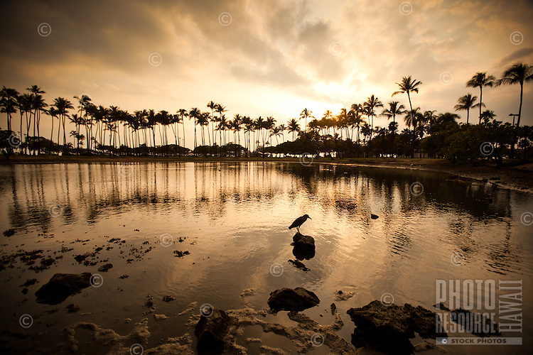 At sunset, a heron perches on a rock at the pond at Ala Moana Beach Park, O'ahu.