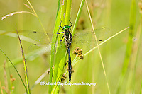 06544-00114 Hine's Emerald dragonfly (Somatochlora hineana) male in fen, Federally Endangered Species Reynolds Co,  MO
