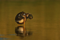 578387001 a wild male northern shoverler anas clypeata preens in a small pond at sunset in tamaulipas state mexico