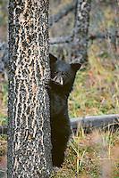 Black Bear (Ursus americanus) cub standing by tree.  Northern Rockies.  Fall.
