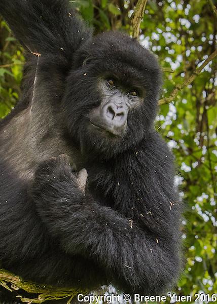 Gorilla Hanging Around Rwanda 2015