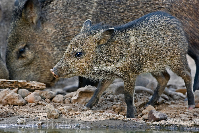 650520105 a wild young javelina or collared peccary dicolytes tajacu stands near a small pond while the adults feed nearby in the rio grande valley of south texas