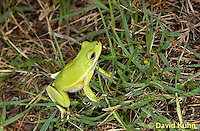 0605-0901  American Green Treefrog at Outer Banks North Carolina, Hyla cinerea  © David Kuhn/Dwight Kuhn Photography