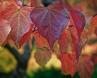 Vashon Island, WA<br /> Fall colored leaves of and eastern redbud (Cercus canadensis), detail