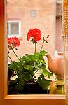 Tea pot and geranium in window.
