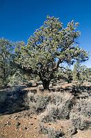 Singleleaf Pinyon Pine Habitat, White Mountains of California.