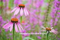 63821-22912 Purple Coneflowers (Echinacea purpurea) Marion Co., IL