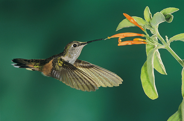 Broad-tailed Hummingbird, Selasphorus platycercus, female feeding on Mexican Honeysuckle (Justicia spicigera), Miller Canyon, Arizona, USA