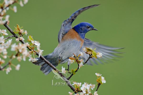 Male Western Bluebird (Sialia mexicana).   Columbia River Gorge National Scenic Area, Washington-Oregon..Early Spring.