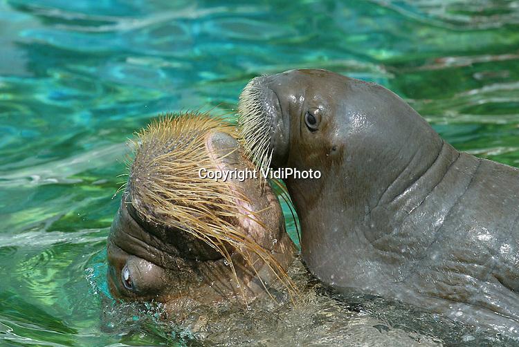 Foto: VidiPhoto..HARDERWIJK - Babywalrus Boika in het Dolfinarium in Harderwijk krijgt dinsdag zijn eerste zwemlessen. Het diertje is dan precies een maand oud. De geboorte op 22 juni was een voor Europa unieke gebeurtenis in een dierenpark. Boika komt ongeveer 1 kilo per dag aan en is de publiekslieveling in het Dolfinarium. Boika wordt ook geleerd om met de verzorgers om te gaan, omdat hij later ook deelneemt aan de walrussenshow.