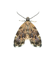 48.001 (0385)<br /> Nettle-tap - Anthophila fabriciana