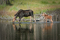 Baby moose following Mom through the water, reflections are visible in the water. photo is horizontal