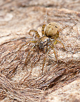 Arctosa leopardus - female. A medium sized wolf spider inhabiting the ground layer in a wide range of damp habitats such as saltmarshes, ditch margins, and lowland bogs.