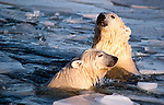 Polar bears (Ursus maritimus), Churchill, Canada.
