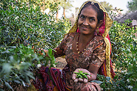 Birju Devi, 45, a farmer's wife and participant in Technoserve's kitchen garden program, holds a handful of home-grown chillies in her kitchen garden in Bamanwali village, Bikaner, Rajasthan, India on October 24th, 2016. Non-profit organisation Technoserve works with farmer's wives in Bikaner, providing technical support and training for edible gardening, to improve the nutritional quality of their food and relieve financial stress on farming communities. Photograph by Suzanne Lee for Technoserve