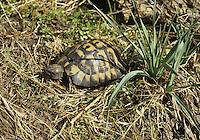 Hermann's Tortoise - Testudo hermanni