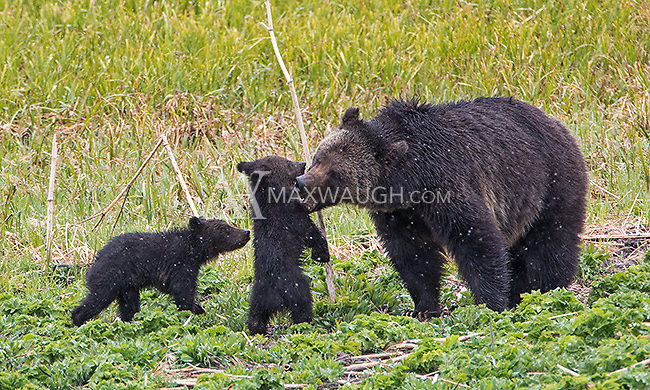 "The grizzly sow known as ""Blaze"" had two new cubs in the spring of 2015."