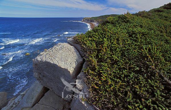 "Tuckamore or ""tuck"" is a Newfoundland name for the stunted white spruce & balsam fir forest found along Atlantic Ocean coastline. Gros Morne National Park, Newfoundland, Canada."