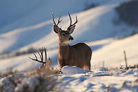 Mule Deer Buck, afternoon light, Jackson Hole, Wyoming