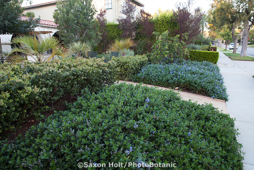 Entry path from sidewalk between Ceanothus groundcovers in Southern California front yard native plant drought tolerant garden