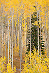 Golden leaves adorn an Aspen grove in the Gros Ventre Mountains, Jackson Hole, Wyoming.