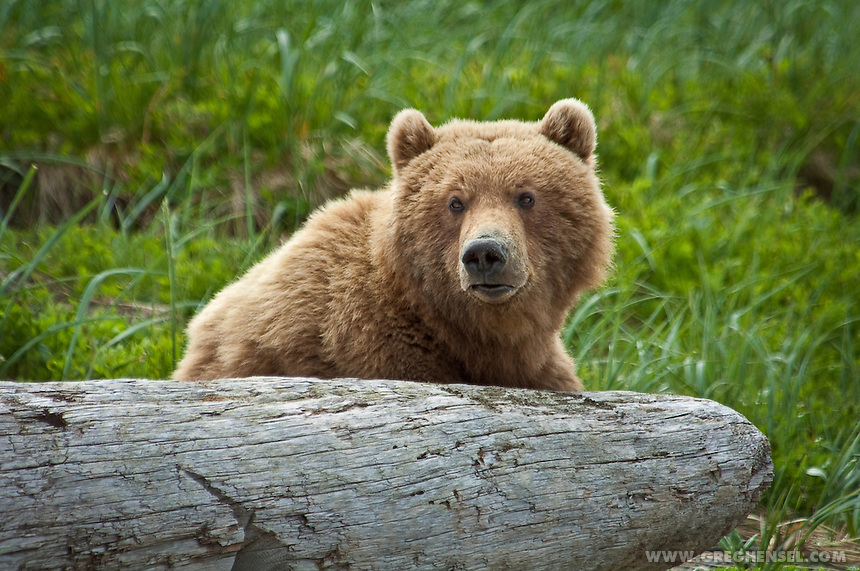 Close-Up of Brown Bear resting on driftwood at McNeil River Bear Sanctuary. Summer in Southwest Alaska.